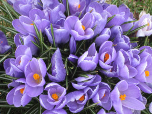 purple_crocus