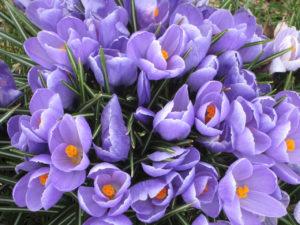 purple_crocus